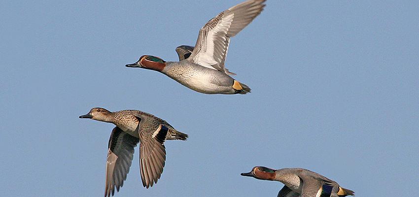 Richiami per uccelli, tordi e allodole